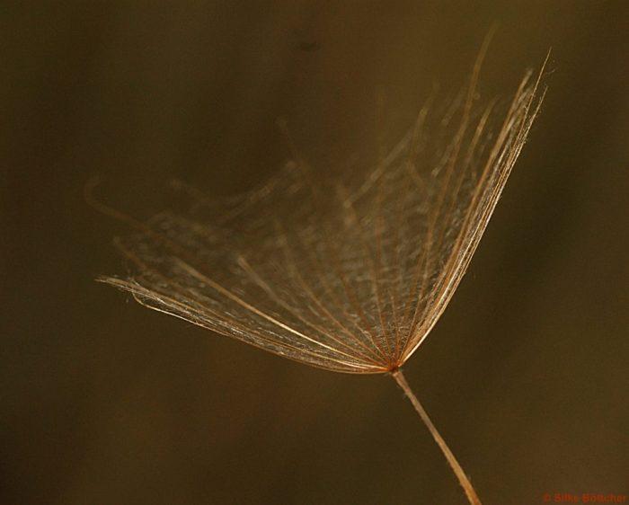 Samen mit Flügel: der Wiesenbocksbart Foto: Silke Böttcher