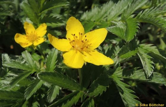 Gänsefingerkraut, Blüte