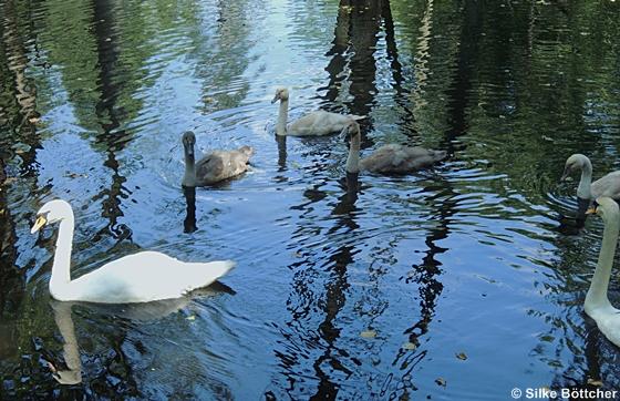 Höckerschwan, Jungtiere, Altvögel, Wasser