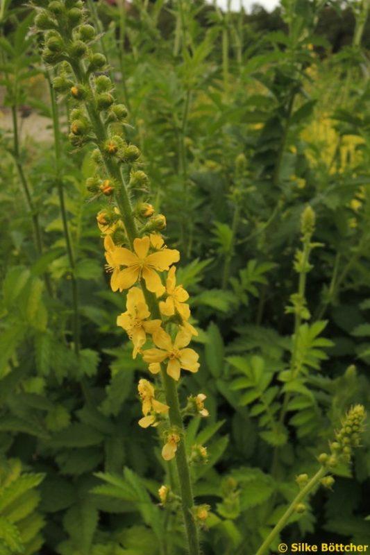 Odermennig Pflanze Blüte