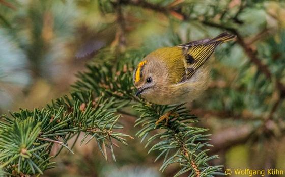 Wintergoldhähnchen Vogel