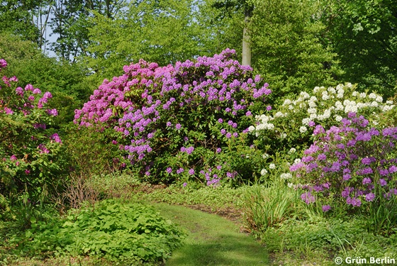 Rhododendron-Hain