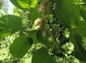 Früchte der Weißen Maulbeere
