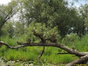 Eine vom Biber gefällte Weide  hat neue Triebe gebildet