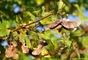 Früchte des Feldahorns